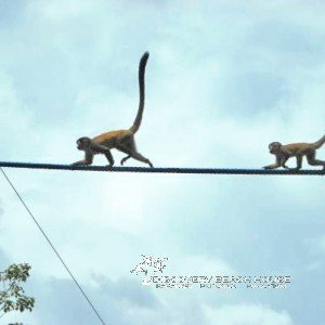KSTR's 120 monkey bridges save countless lives every year by giving monkeys a safe alternative to traveling over electric cables.