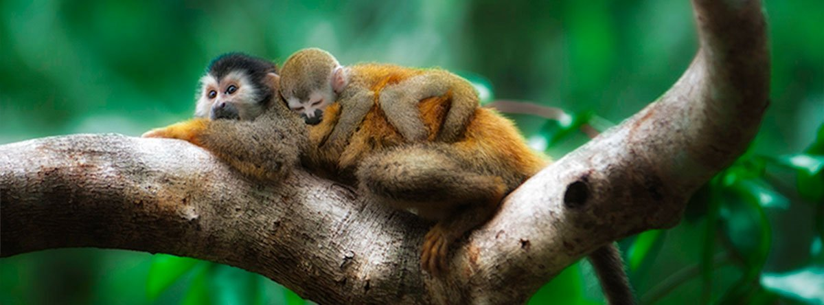 Titi monkey mother and baby