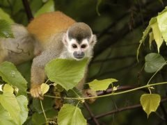 Release of Squirrel Monkeys at KSTR