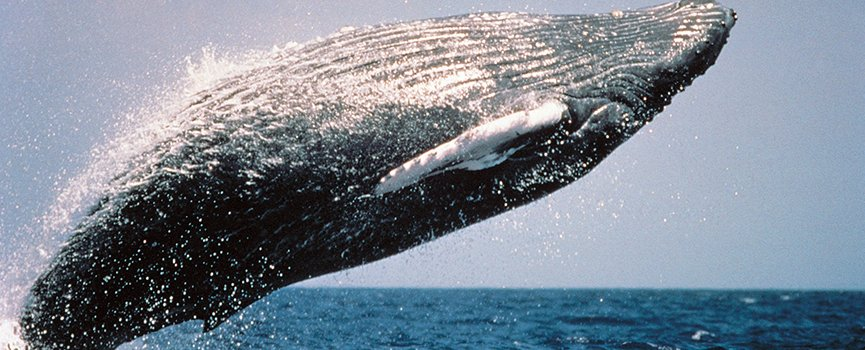 A Tale of Two Whale Seasons in Costa Rica